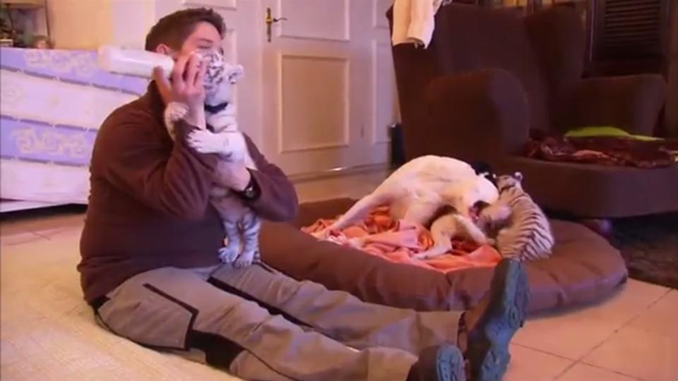When a dog became a mother to Bengal Tiger cubs in Germany