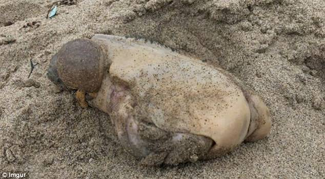 Mysterious sea animal with no eyes, discovered on California beach