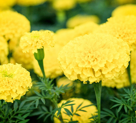 Charming Marigold-Staple Flower Of October