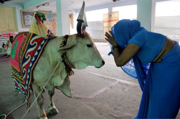 Why the humble cow is India