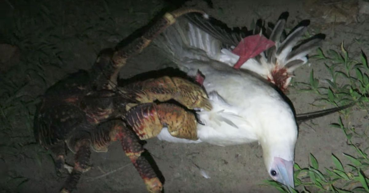 Watch: This giant crab hunting and killing a seabird is the stuff nightmares are made of