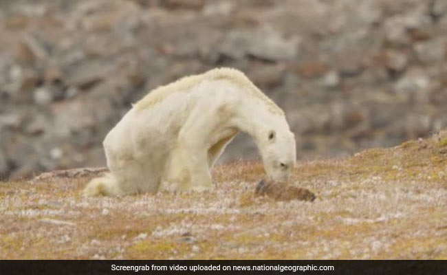 Emaciated Polar Bear Kicks Off Discussion About Climate Change