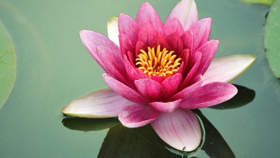 Lotuses are blooming at Kashmir's Dal Lake; its stems are making a comeback at markets