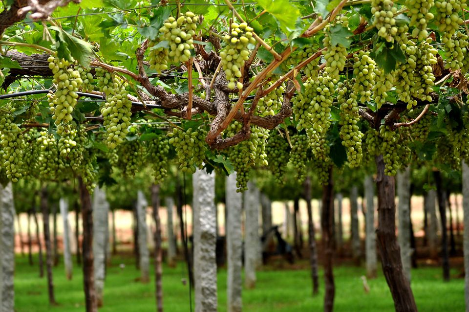 6 Vineyards To Enjoy the Best Wine in India