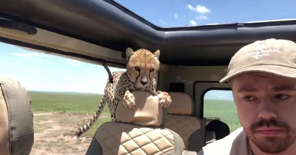 Watch: A cheetah jumped into a terrified tourist's jeep during a safari
