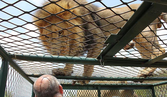 He Bottle-Fed A Lion Cub. Ten Years Later, It Attacked Him And Was Shot Dead.