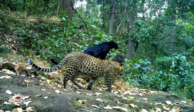 Rare Black Panther Spotted In Odisha