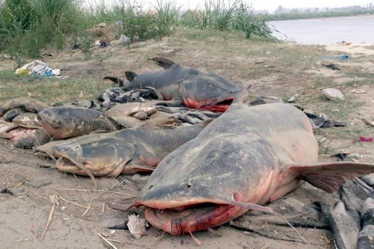Punjab: Molasses Leak From A Sugar Mill Kills Hundreds Of Fish & Turns River Beas Dark Brown