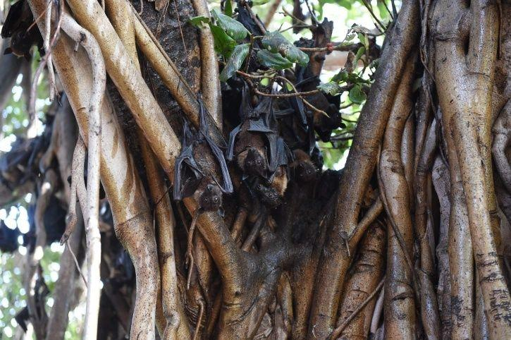 Nipah Mystery Deepens, Fruit Bats Not The Reason Behind Spread Of The Deadly Virus In Kerala