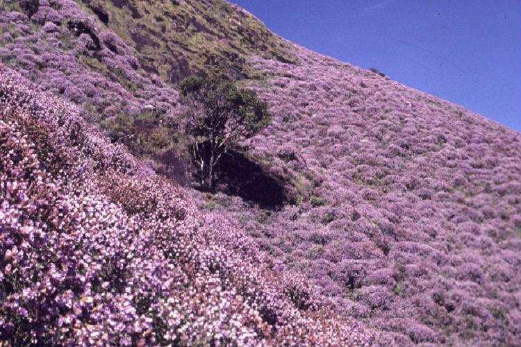 Once in a blue bloom: Kerala