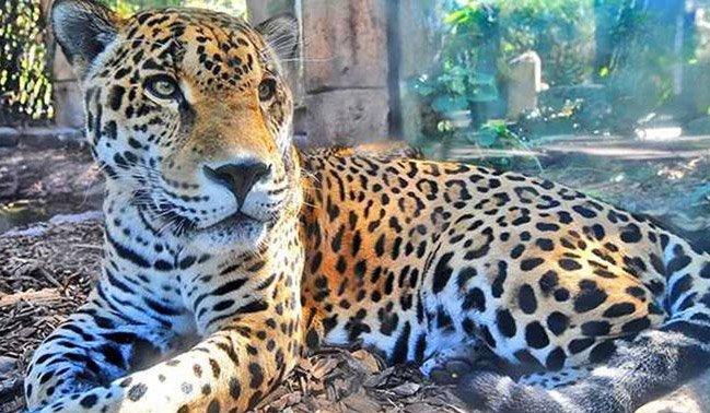 Jaguar Escapes Zoo Enclosure, Kills Trapped Animals One After The Other
