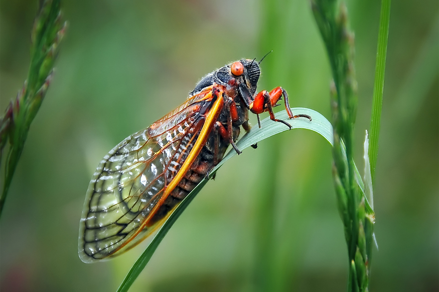 Tourists are Complaining that French Cicadas are