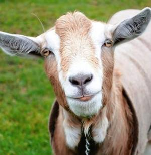 No kidding: goats can read your face