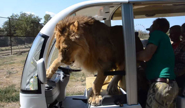 Watch: Lion Jumps Into Vehicle Full Of Tourists In