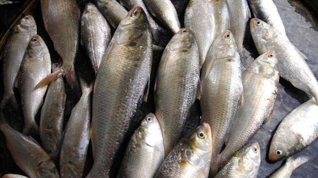 Bangladesh scientists decode hilsa fish genome, here