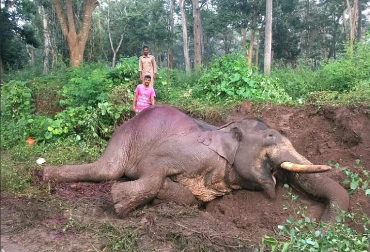 Speeding bus kills Rowdy Ranga, 46-year-old elephant, near Nagarhole forest