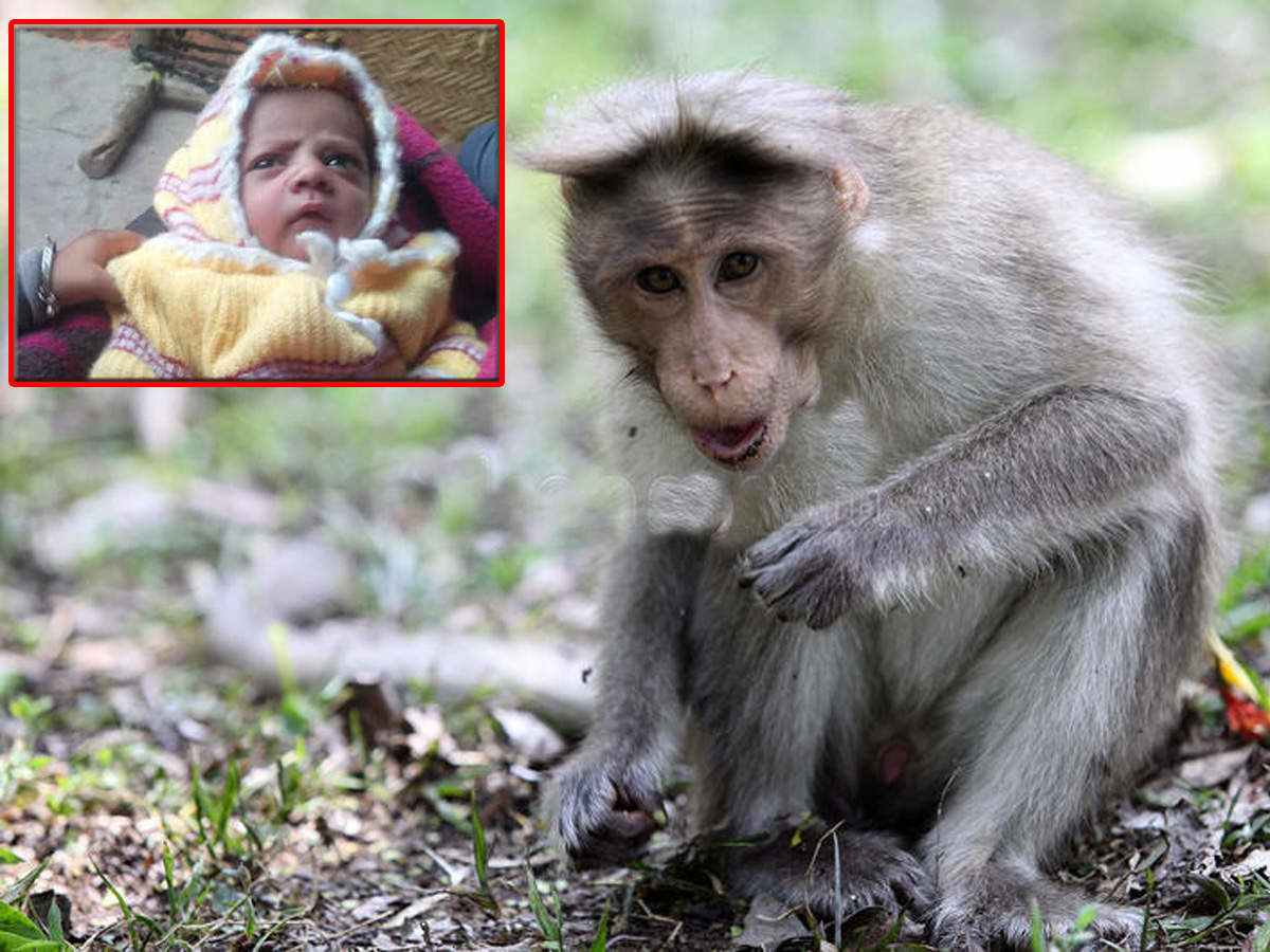 12-day-old baby snatched and killed by monkey in Agra