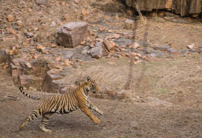 On Camera, Tigress Chases Tourist SUV In Maharashtra