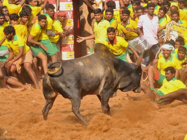 What is Jallikattu, the bull-headed sport, which has injured over 50 in Tamil Nadu just this year?