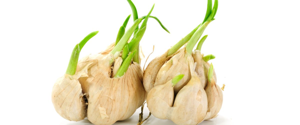 Don't Ever Throw Out Sprouted Garlic.