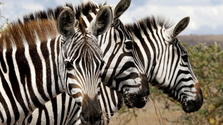 Why do zebras have stripes? Scientists finally figure out the answer