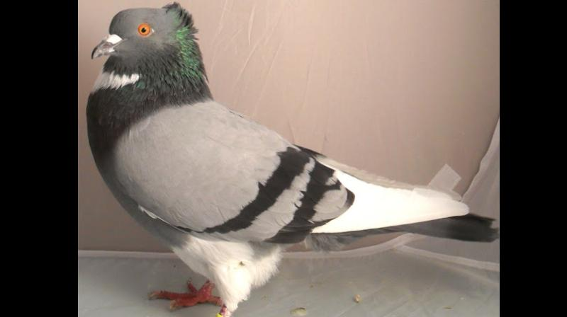 Belgian pigeon gets auctioned for world record prize!