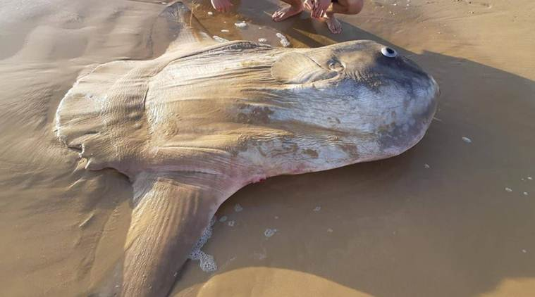 Locals left stunned after giant sunfish washes ashore in Australia