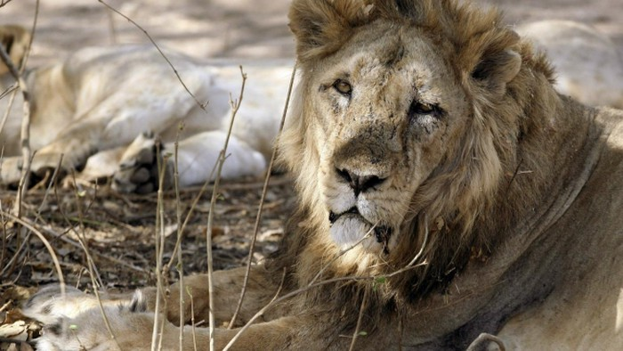 """Rhino Poacher Killed By An Elephant And Then """"Devoured"""" By Lions"""