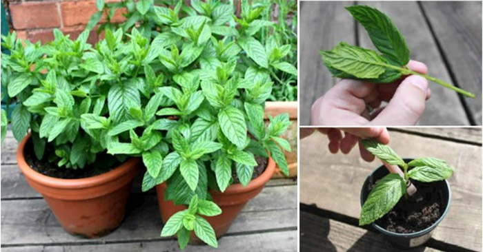 Why You Should Grow Mint At Home And How To Do It