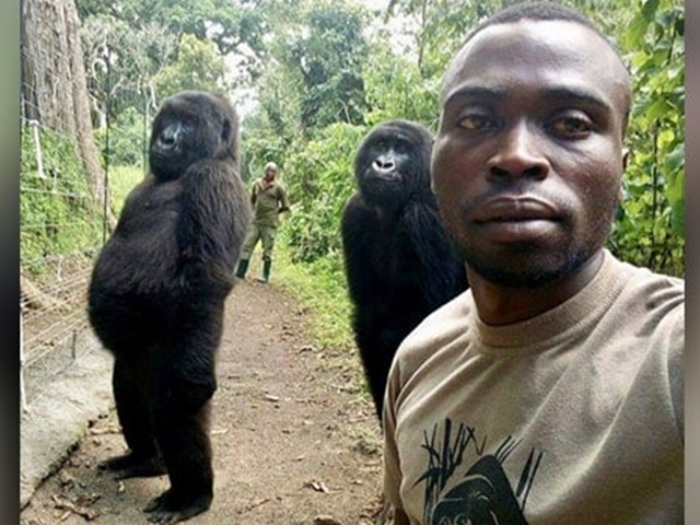 Why 2 Orphaned Gorillas Stood Tall Like Humans In A Park Ranger