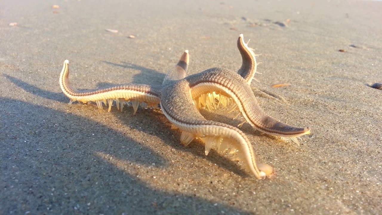 This Video Of A Starfish 'Walking' Is Beautiful And Terrifying