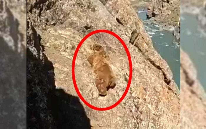 Watch: Bear Tumbles Off Cliff After Stones Thrown At It In Kargil; Sparks Outrage
