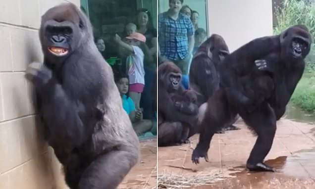 Watch: Gorillas Try To Stay Out Of Rain In Hilarious Viral Video