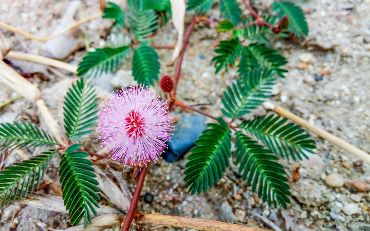 Why is the Sensitive Plant So Shy?