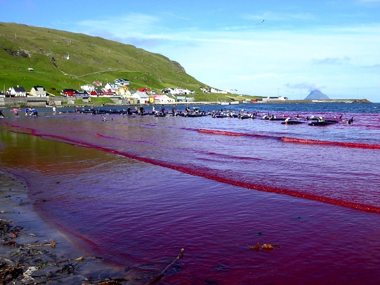 Whale hunt In Faroe Islands Turns Sea Red With Blood After Yearly Slaughter
