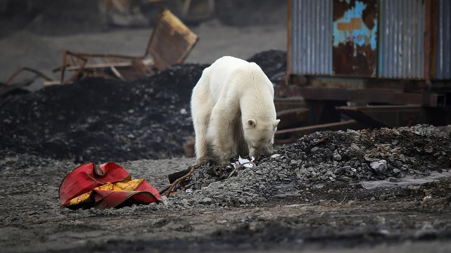 Watch: Exhausted Polar Bear Strays From Arctic Home, Seen In Russian City