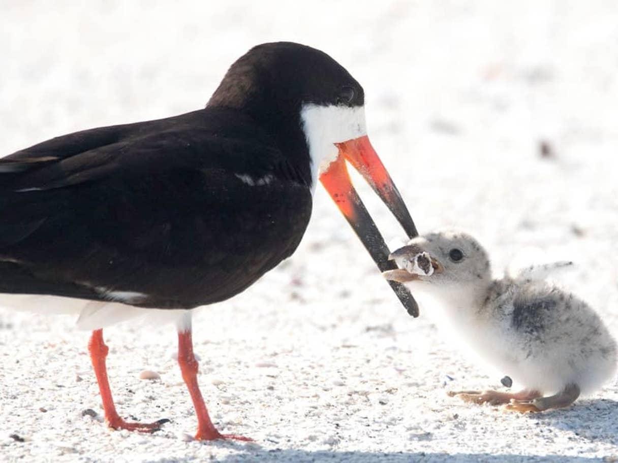 Distressing Image Shows Bird Feeding Chick Cigarette Butt
