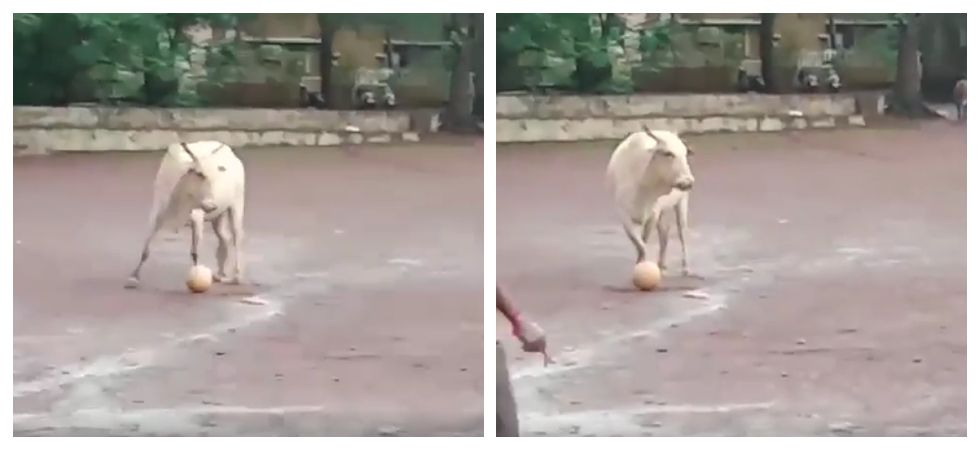 Cow plays football with group of boys on field in viral video. Funniest thing ever, says Internet