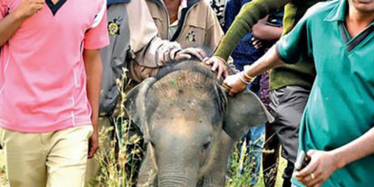 Baby Elephant Isolated From Mother Used For Selfies Then Die