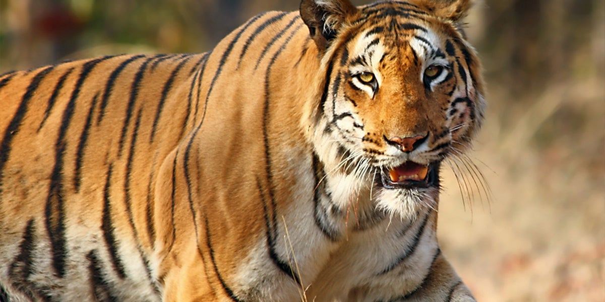 In 4 Years The Population Of Tigers In India Increased By 33%
