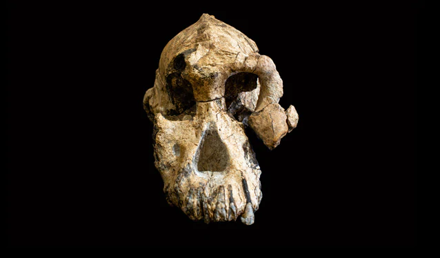 3.8-Million-Year-Old Skull Is An Iconic Specimen In Humans