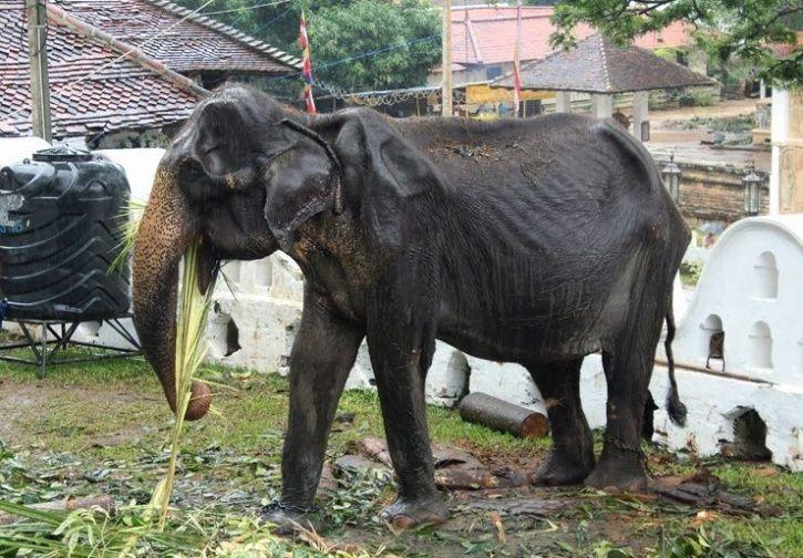 Remember The Starving And Frail 70-Yr-Old Elephant In Sri Lanka That Sparked Outrage, She Is No More