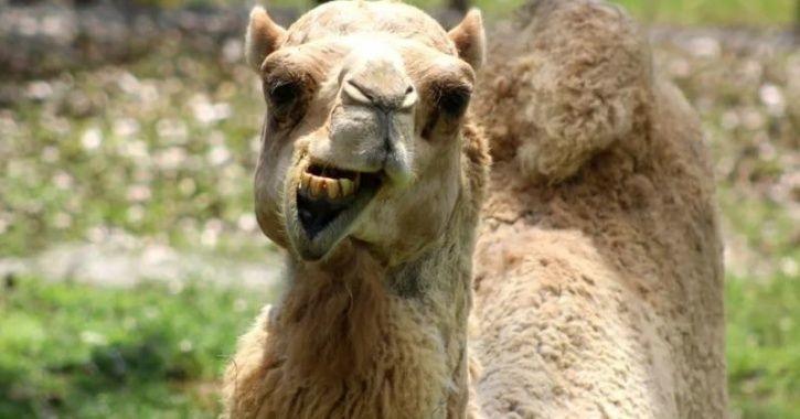 Camel Bites Man, Wife Bites Camel