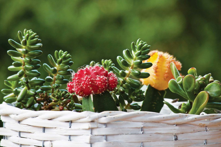 Feng shui: Right place for lovely but thorny plants
