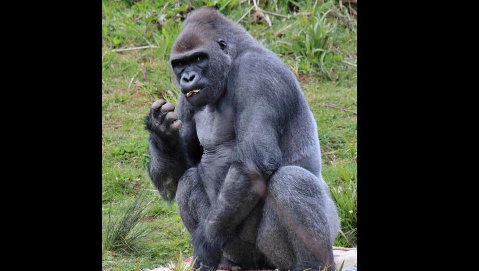 Gorilla uses sign language to tell onlookers this. Watch jaw dropping video