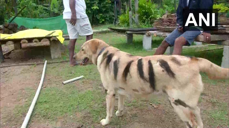 Farmer in Karnataka paints pet dog as tiger. Here's why
