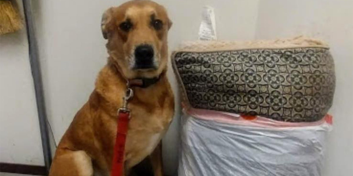 Wall-E The Dog Was Abandoned At An Animal Shelter With His Bed And All His Toys