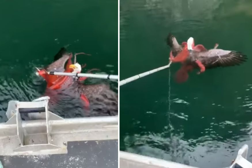 Watch: Men Rescue Bald Eagle from Being Swallowed by Octopus