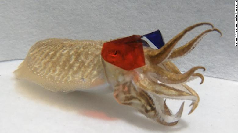 Scientists put 3D glasses on cuttlefish and showed them film clips. The results were surprising