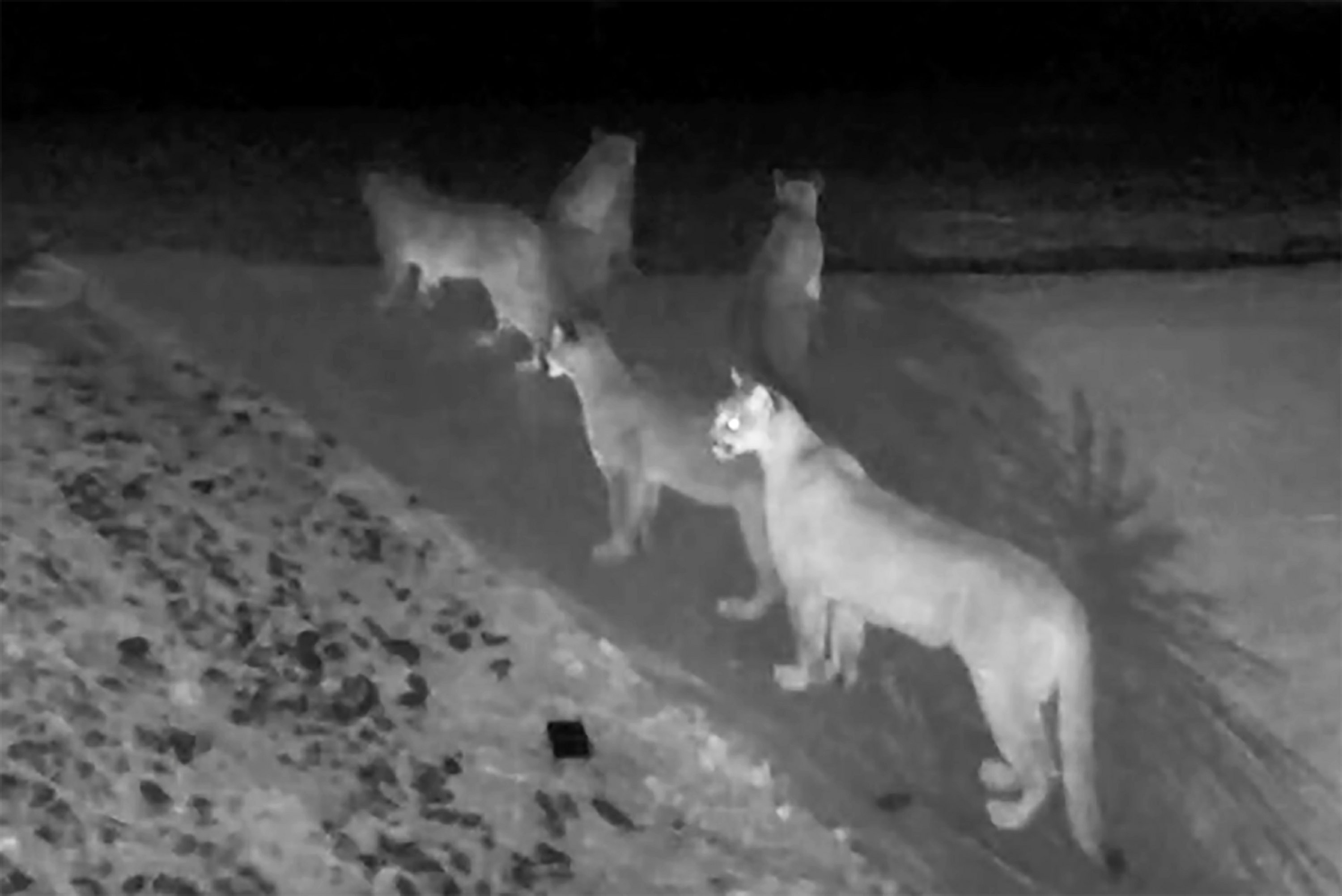 "5 Mountain Lions Seen Together In Rare Video. Why This Is ""Extraordinary"""